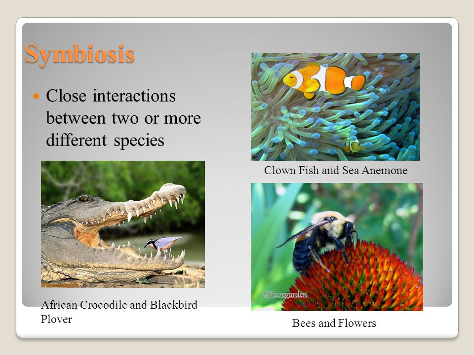 Symbiosis Close interactions between two or more different species African Crocodile and Blackbird Plover Clown Fish and Sea Anemone Bees and Flowers