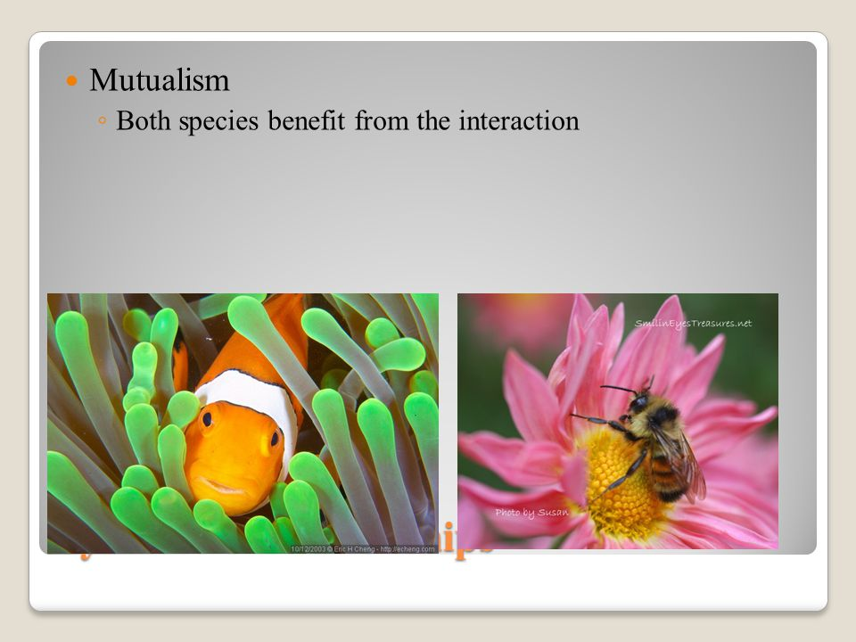 Symbiotic Relationships Mutualism ◦ Both species benefit from the interaction