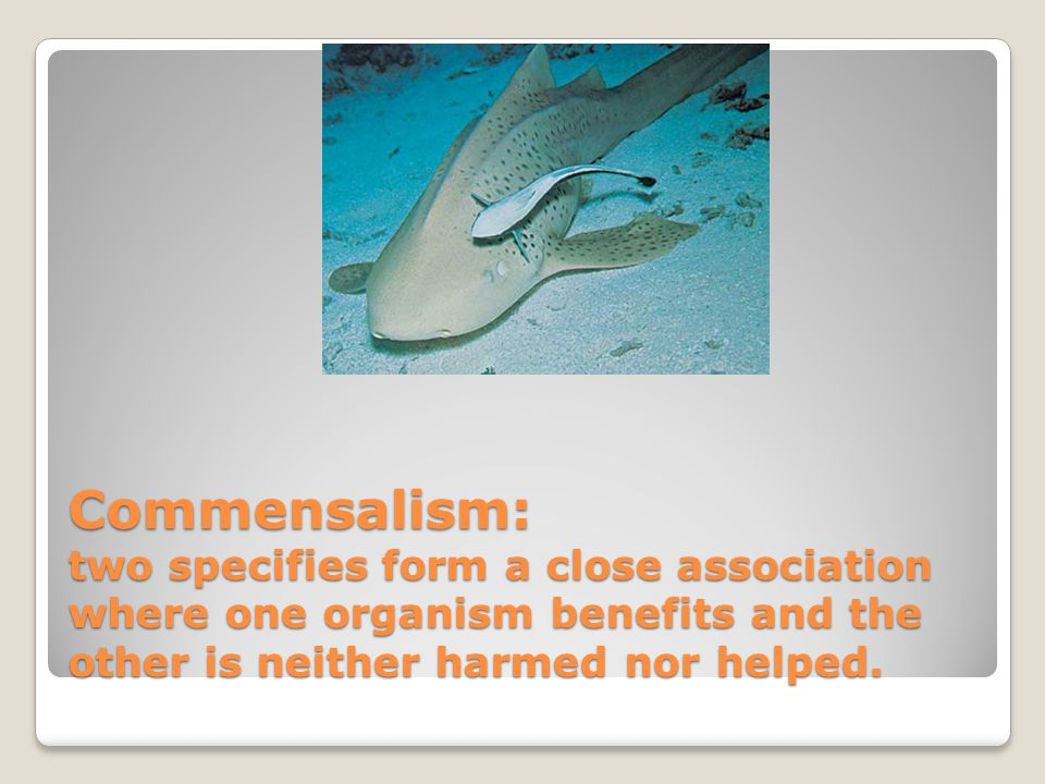 Commensalism: two specifies form a close association where one organism benefits and the other is neither harmed nor helped.
