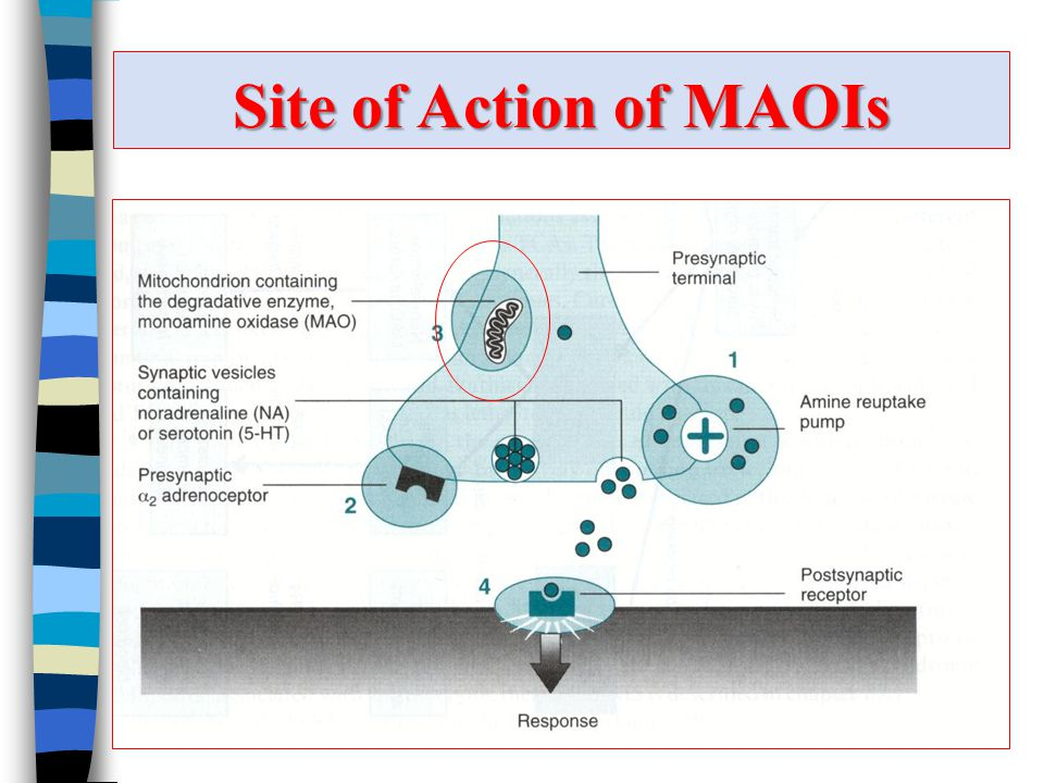 Site of Action of MAOIs