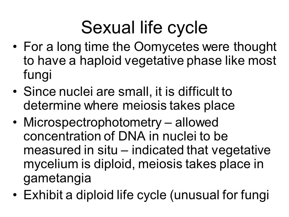 Sexual life cycle For a long time the Oomycetes were thought to have a haploid vegetative phase like most fungi Since nuclei are small, it is difficul