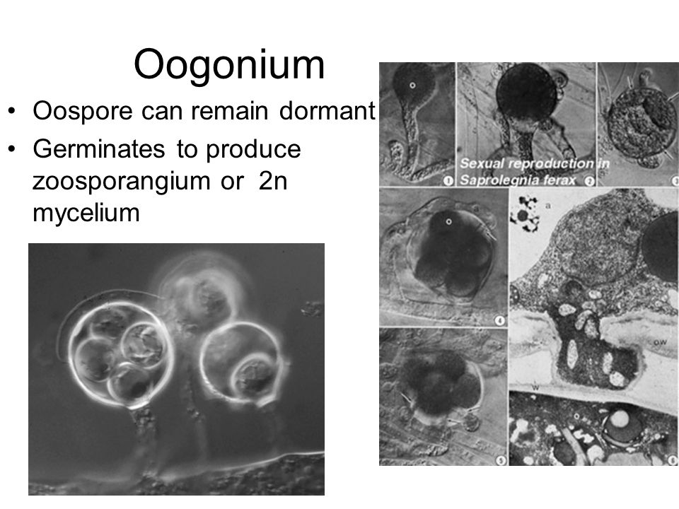 Oogonium Oospore can remain dormant Germinates to produce zoosporangium or 2n mycelium