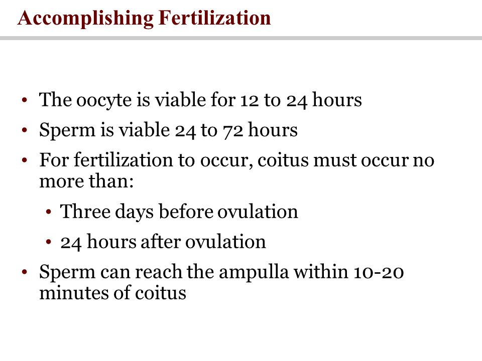 Accomplishing Fertilization The oocyte is viable for 12 to 24 hours Sperm is viable 24 to 72 hours For fertilization to occur, coitus must occur no more than: Three days before ovulation 24 hours after ovulation Sperm can reach the ampulla within 10-20 minutes of coitus