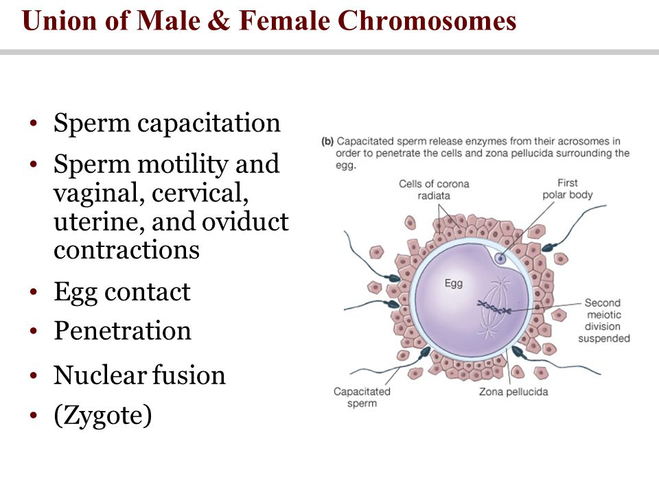Union of Male & Female Chromosomes Sperm capacitation Sperm motility and vaginal, cervical, uterine, and oviduct contractions Egg contact Penetration Nuclear fusion (Zygote)