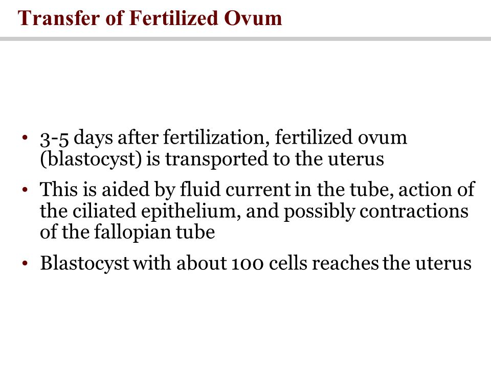 Transfer of Fertilized Ovum 3-5 days after fertilization, fertilized ovum (blastocyst) is transported to the uterus This is aided by fluid current in the tube, action of the ciliated epithelium, and possibly contractions of the fallopian tube Blastocyst with about 100 cells reaches the uterus