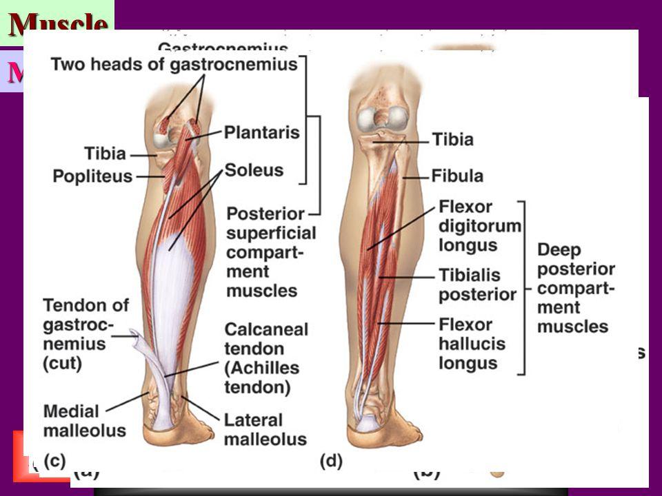 BASIM ZWAIN LECTURE NOTES BASIM ZWAIN LECTURE NOTESMuscle Exit Home Muscle Mechanics