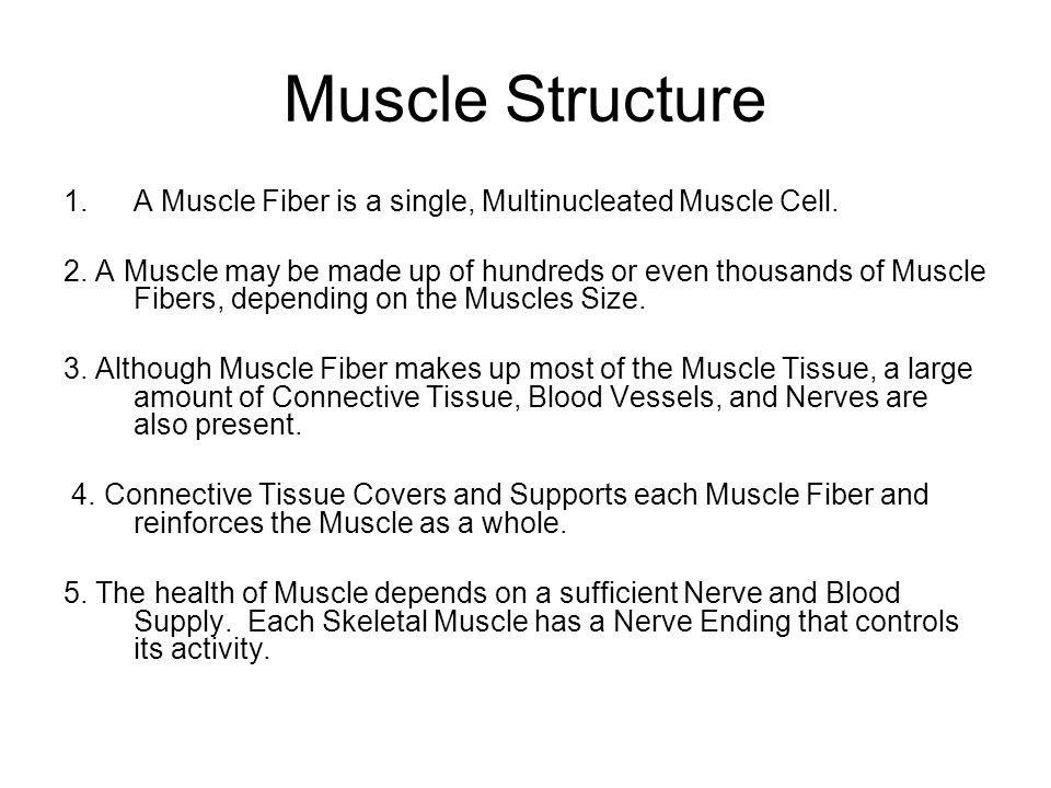 Muscle Structure 1.A Muscle Fiber is a single, Multinucleated Muscle Cell.