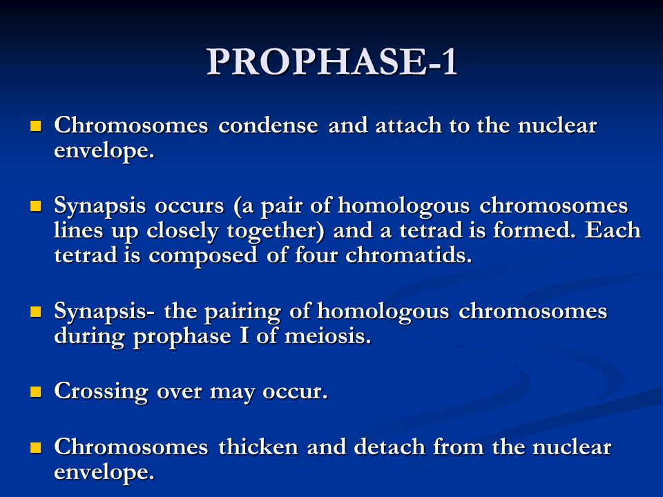 PROPHASE-1 Chromosomes condense and attach to the nuclear envelope. Chromosomes condense and attach to the nuclear envelope. Synapsis occurs (a pair o