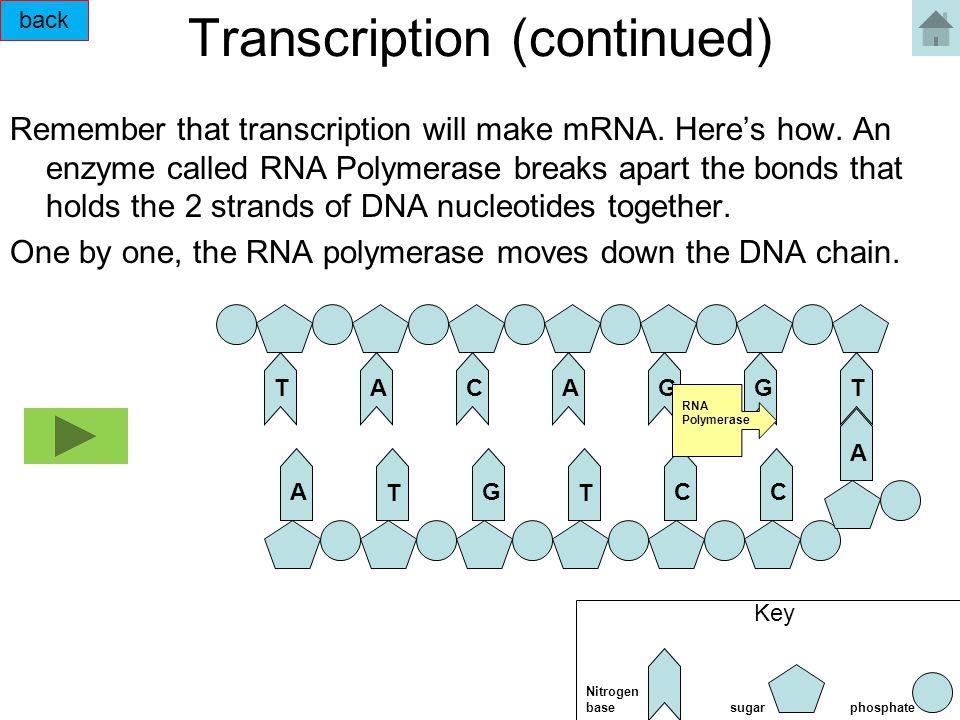 Transcription (continued) Remember that transcription will make mRNA.