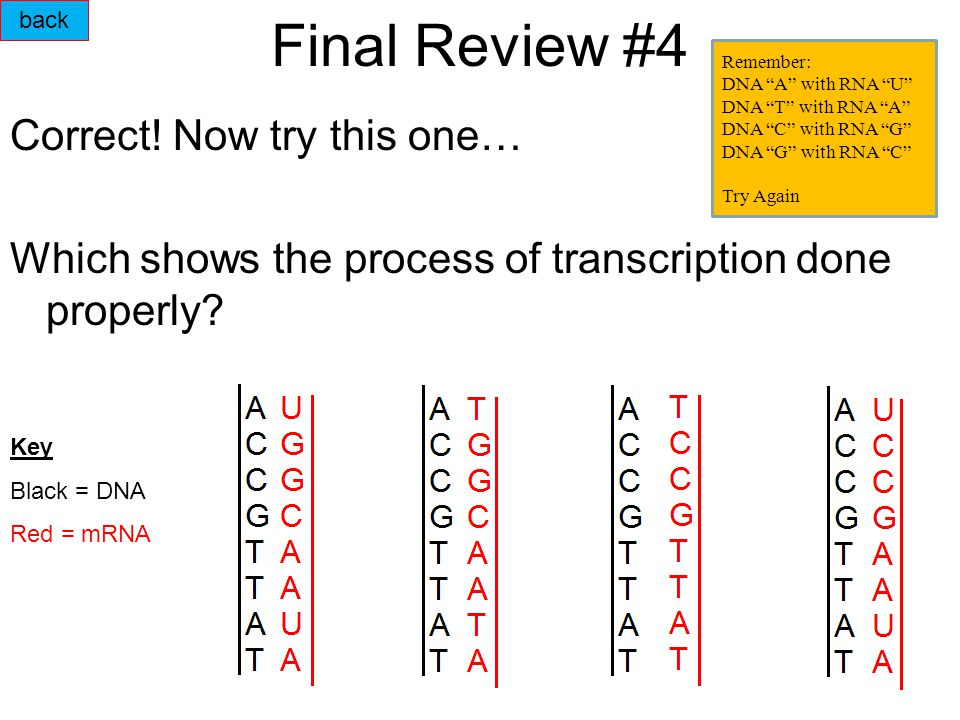 Final Review #4 Correct.Now try this one… Which shows the process of transcription done properly.