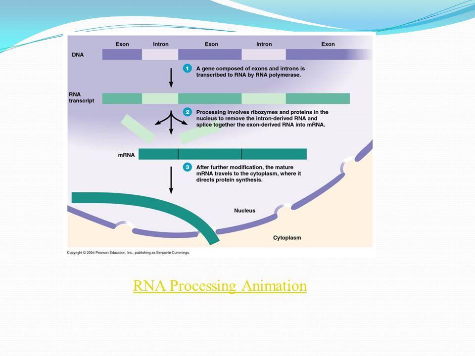 RNA Processing Animation