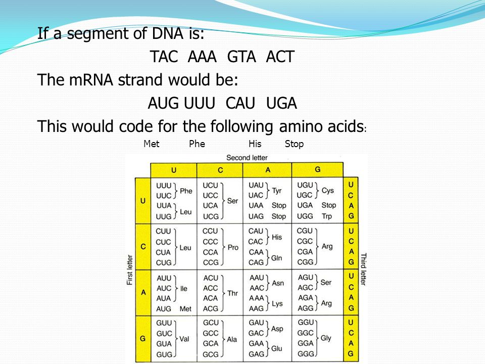 If a segment of DNA is: TAC AAA GTA ACT The mRNA strand would be: AUG UUU CAU UGA This would code for the following amino acids : MetPhe His Stop
