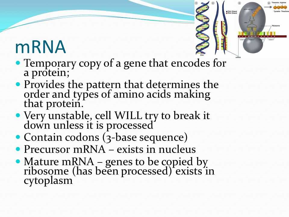 mRNA Temporary copy of a gene that encodes for a protein; Provides the pattern that determines the order and types of amino acids making that protein.
