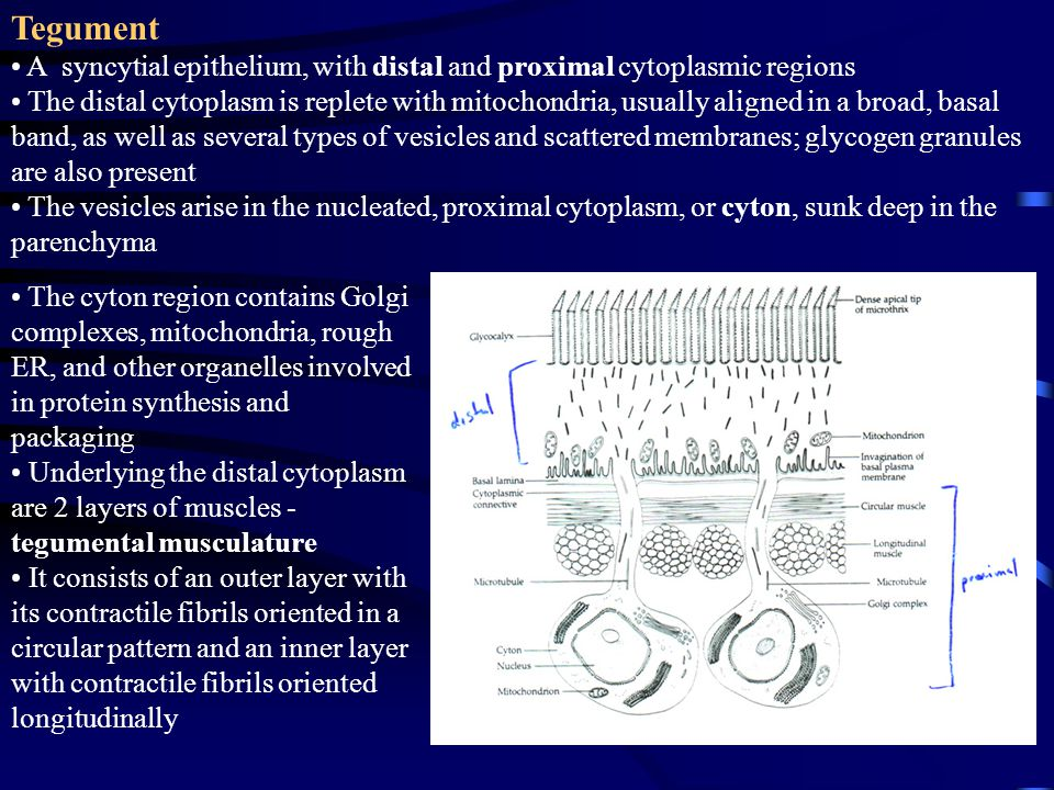 The cyton region contains Golgi complexes, mitochondria, rough ER, and other organelles involved in protein synthesis and packaging Underlying the dis