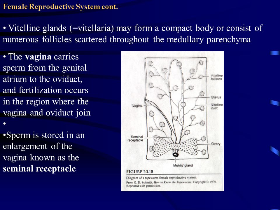 Female Reproductive System cont. Vitelline glands (=vitellaria) may form a compact body or consist of numerous follicles scattered throughout the medu