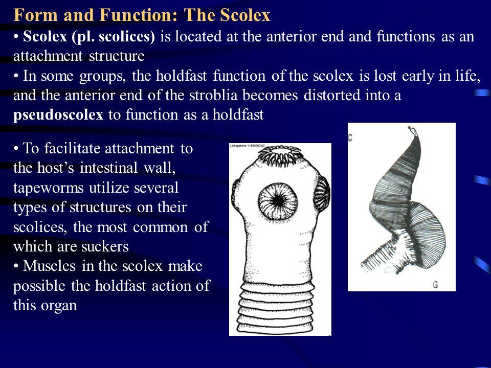 Form and Function: The Scolex Scolex (pl.