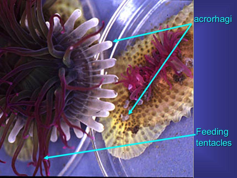 acrorhagi Feeding tentacles