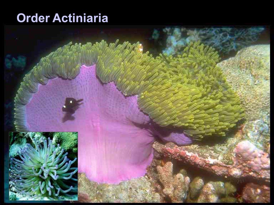 Order Actiniaria