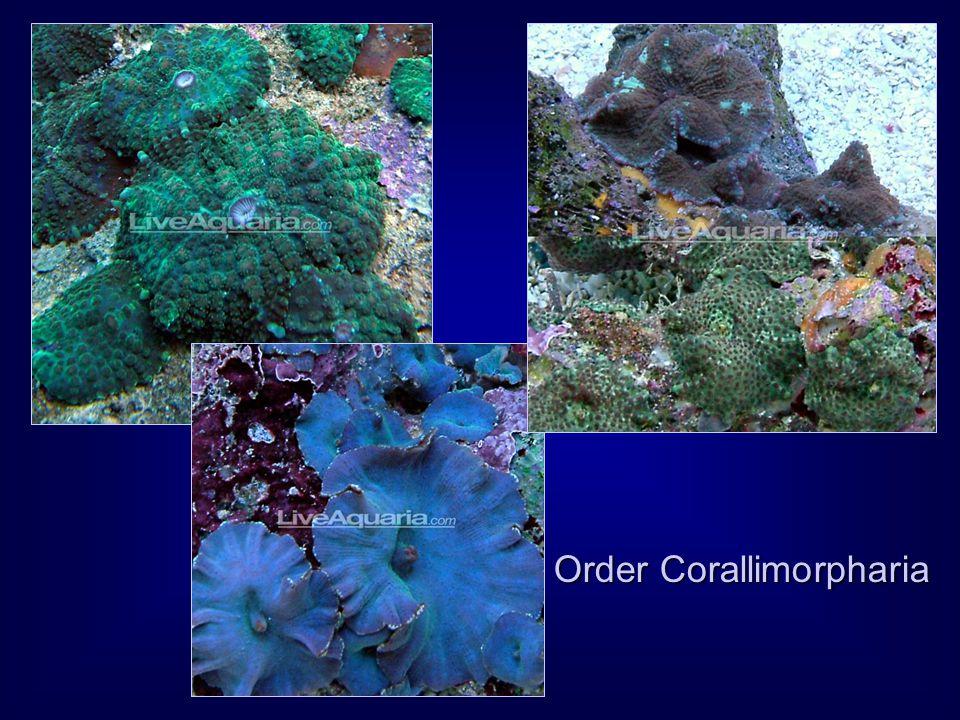 Order Corallimorpharia