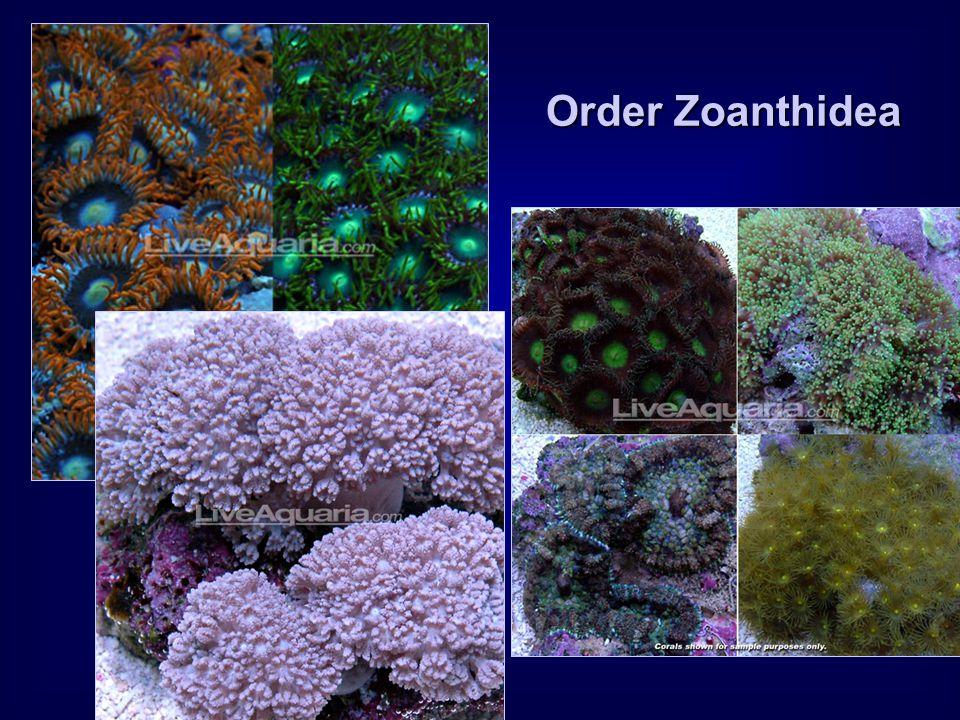 Order Zoanthidea