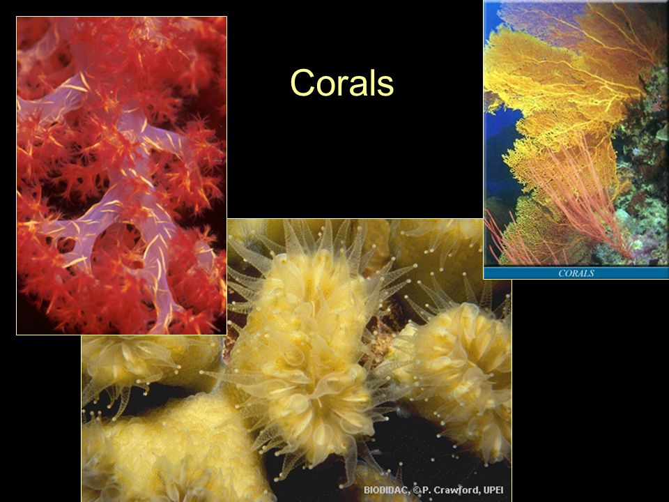 Hexacorallia Subclass Octocorallia (Alcyonaria) –8 tentacles –Tentacles are pinnate –Some have no support other than the thick mesoglea These are the soft corals –Others have proteinaceous or calcareous internal skeletons These are the gorgonians and pipe corals