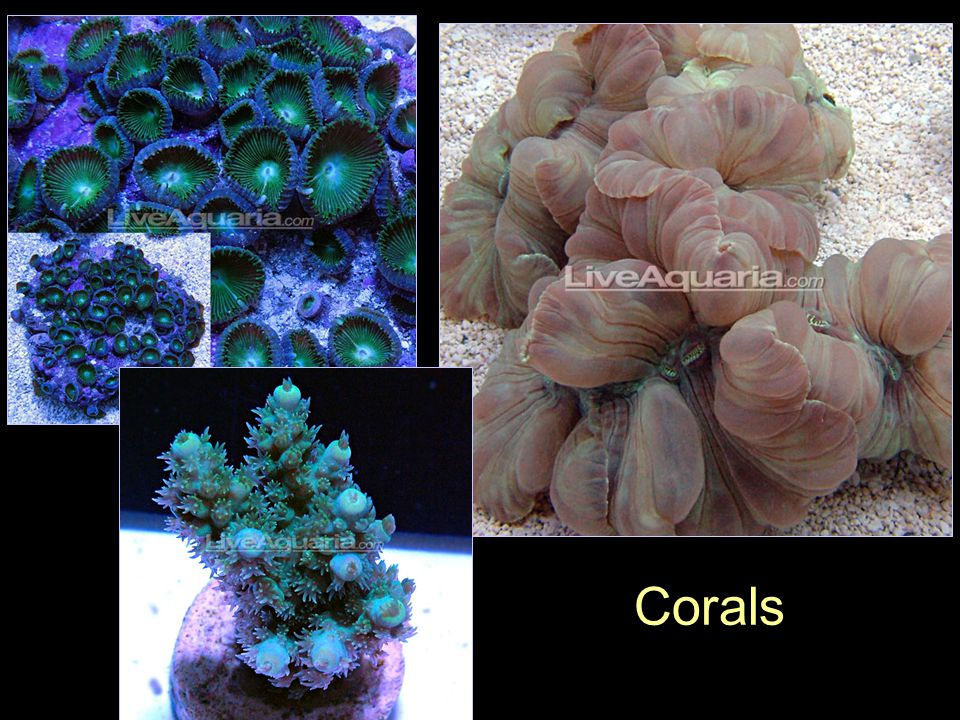 Sublcass Hexacorallia (=Zoantharia) True anemones: Order Actiniaria Mushroom corals: Order Corallimorpharia Zoanthis polyps: Order Zoanthidea True corals: Order Scleractinia