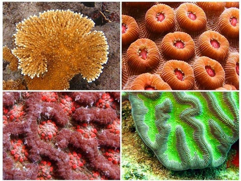 Miscellany Corals have medical uses –Tiny pieces of coral are used for some bone grafts especially face and jaw Tiny pores are rapidly infiltrated by capillaries and bone forming osteoblasts –Used to make artificial eyes move.