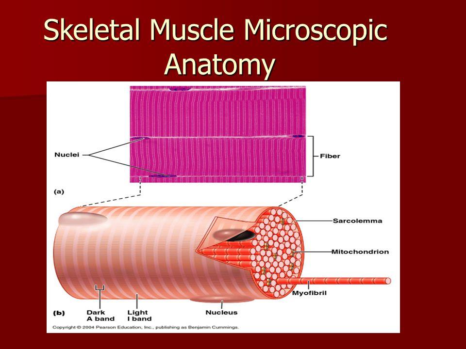Skeletal Muscle Microscopic Anatomy