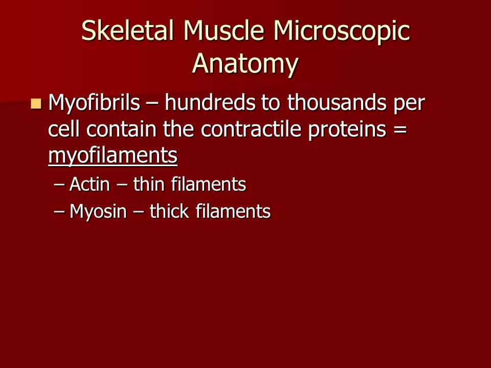 Myofibrils – hundreds to thousands per cell contain the contractile proteins = myofilaments Myofibrils – hundreds to thousands per cell contain the co