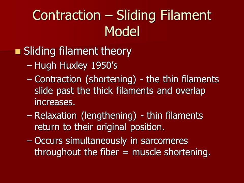 Contraction – Sliding Filament Model Sliding filament theory Sliding filament theory –Hugh Huxley 1950's –Contraction (shortening) - the thin filament