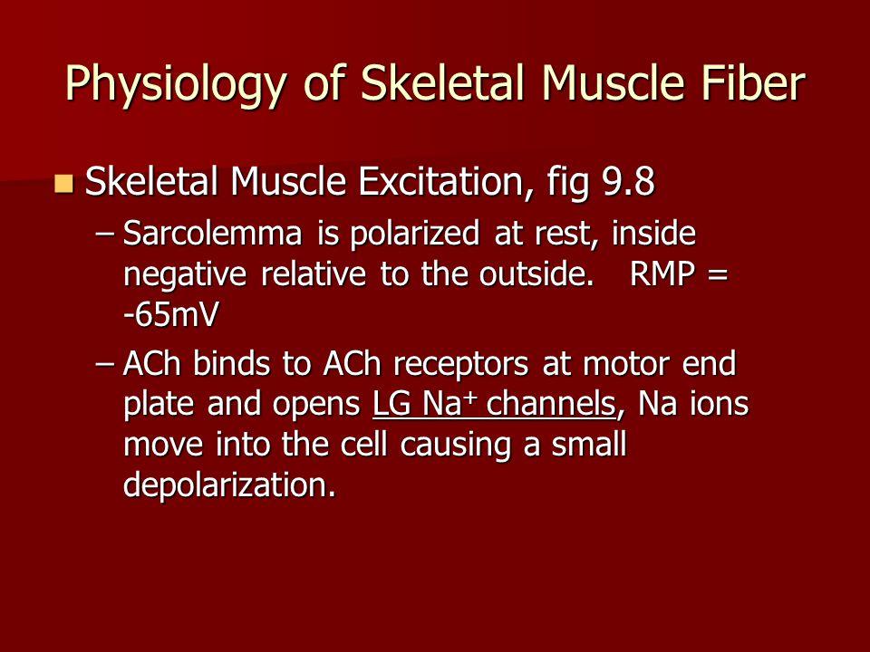 Physiology of Skeletal Muscle Fiber Skeletal Muscle Excitation, fig 9.8 Skeletal Muscle Excitation, fig 9.8 –Sarcolemma is polarized at rest, inside n