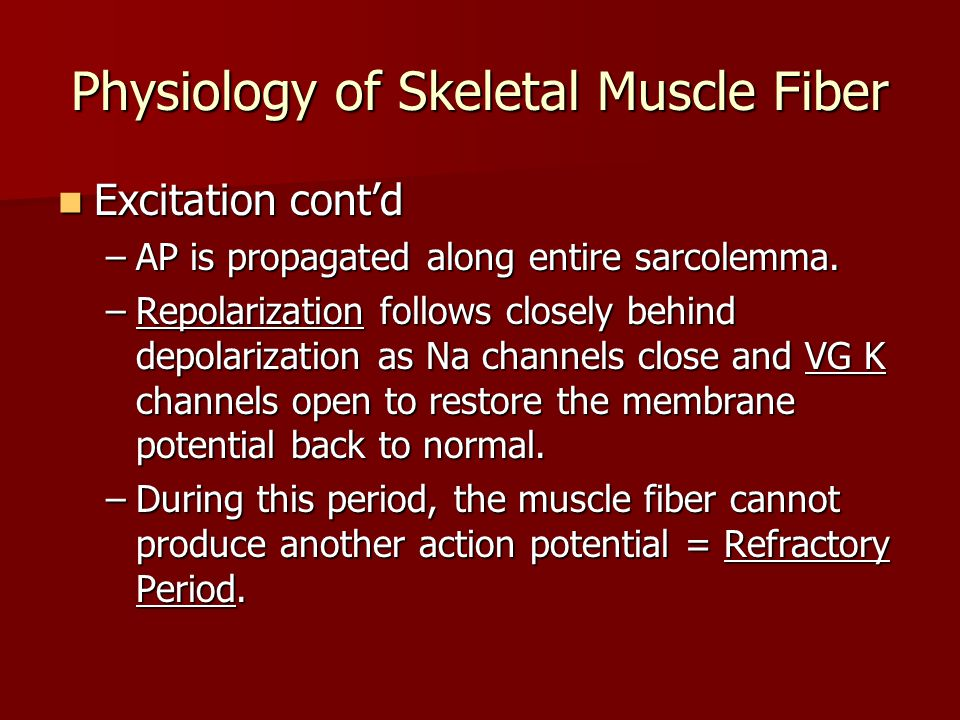 Physiology of Skeletal Muscle Fiber Excitation cont'd Excitation cont'd –AP is propagated along entire sarcolemma. –Repolarization follows closely beh