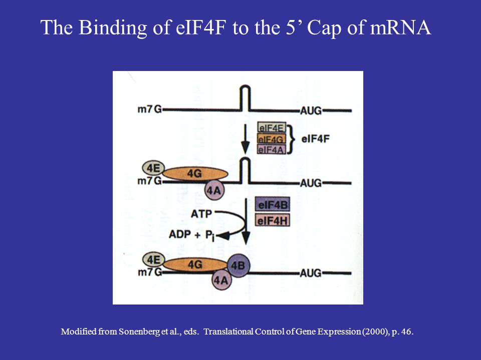 Initiation Step 2: Assembly of the Preinitiation Complex 1.Initiation factors 1, 1A, and 3 bind to the 40S ribosomal subunit.