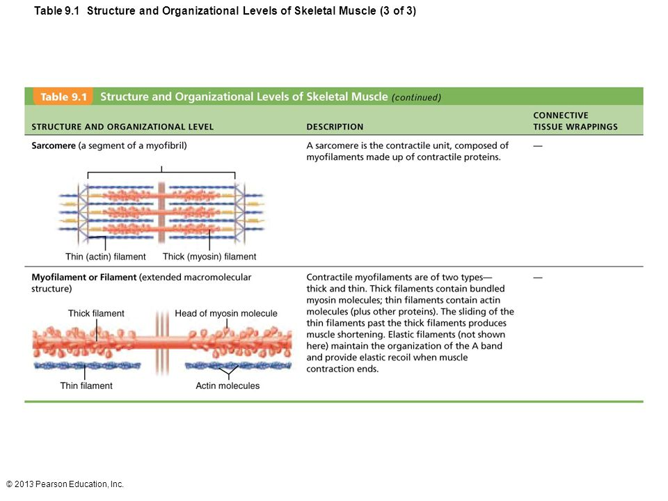 © 2013 Pearson Education, Inc. Table 9.1 Structure and Organizational Levels of Skeletal Muscle (3 of 3)