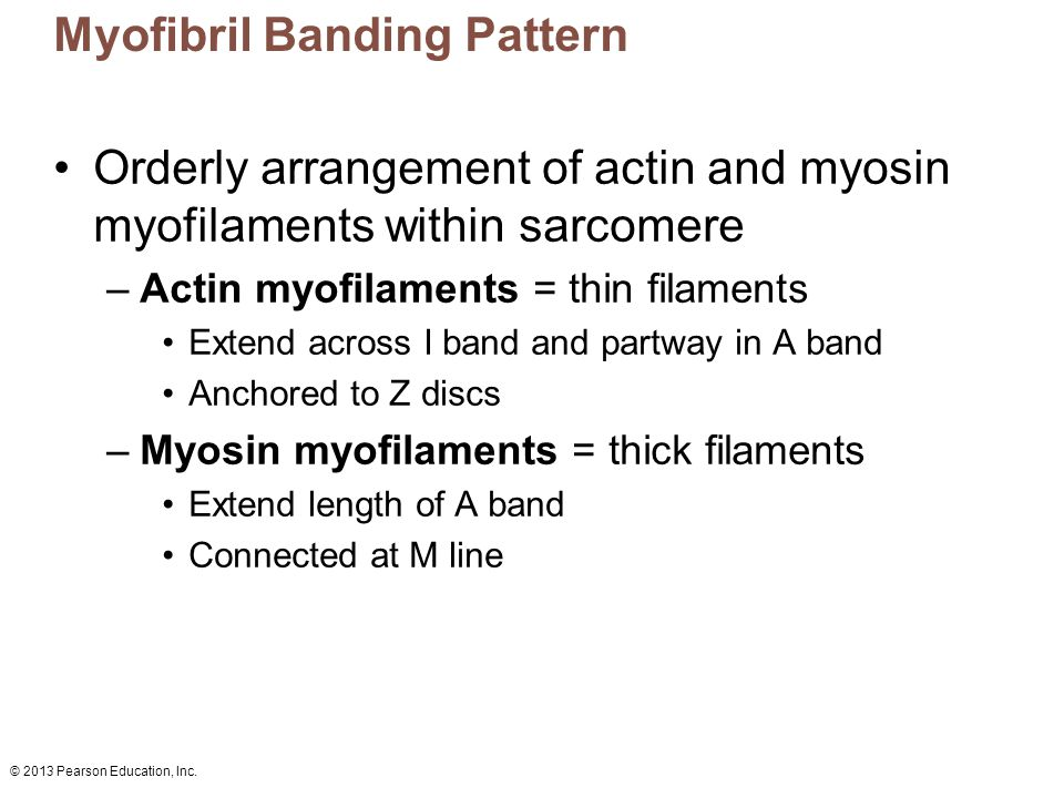 © 2013 Pearson Education, Inc. Myofibril Banding Pattern Orderly arrangement of actin and myosin myofilaments within sarcomere –Actin myofilaments = t