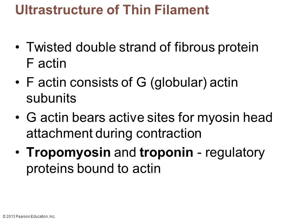 © 2013 Pearson Education, Inc. Ultrastructure of Thin Filament Twisted double strand of fibrous protein F actin F actin consists of G (globular) actin