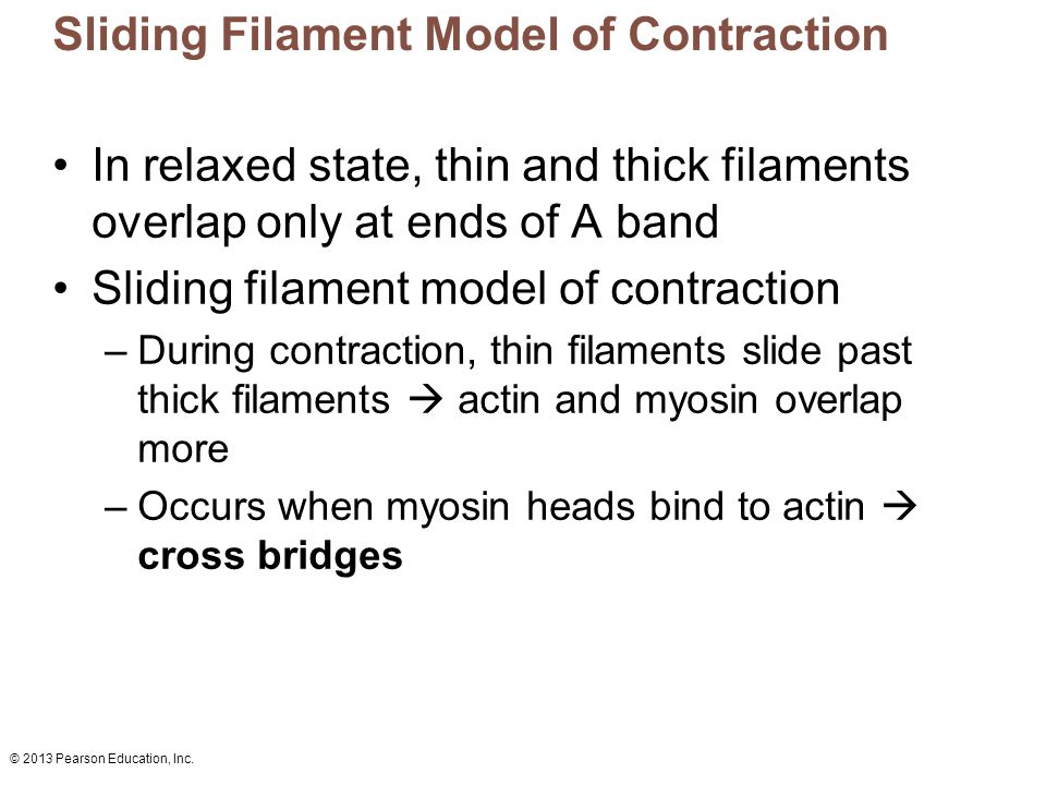 © 2013 Pearson Education, Inc. Sliding Filament Model of Contraction In relaxed state, thin and thick filaments overlap only at ends of A band Sliding