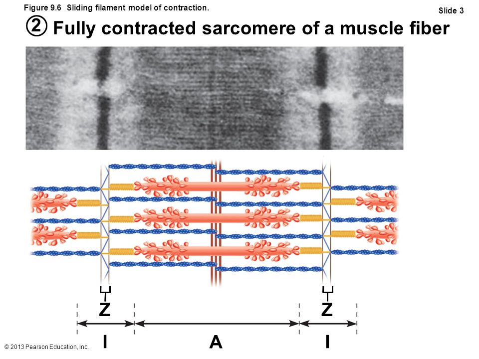 © 2013 Pearson Education, Inc. Figure 9.6 Sliding filament model of contraction. Slide 3 2 Fully contracted sarcomere of a muscle fiber ZZ II A
