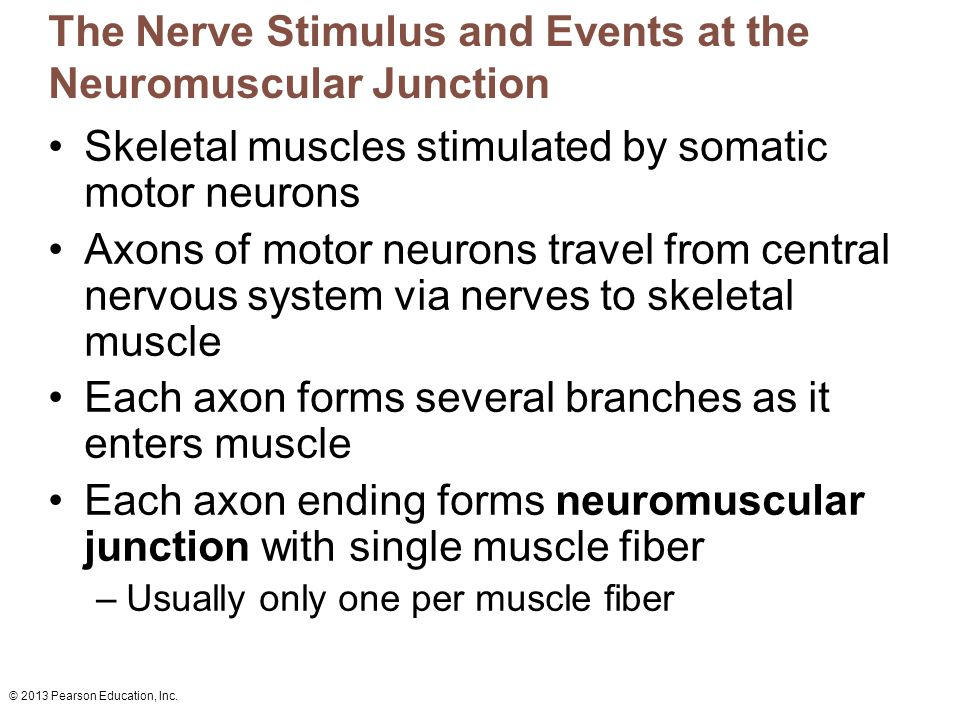© 2013 Pearson Education, Inc. The Nerve Stimulus and Events at the Neuromuscular Junction Skeletal muscles stimulated by somatic motor neurons Axons