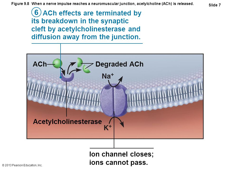 © 2013 Pearson Education, Inc. Figure 9.8 When a nerve impulse reaches a neuromuscular junction, acetylcholine (ACh) is released. Slide 7 ACh effects