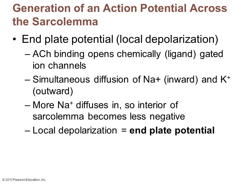 © 2013 Pearson Education, Inc. Generation of an Action Potential Across the Sarcolemma End plate potential (local depolarization) –ACh binding opens c