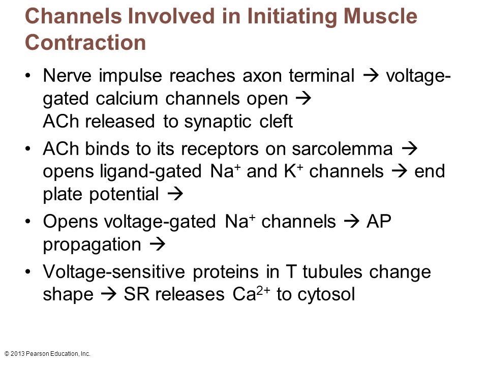 © 2013 Pearson Education, Inc. Channels Involved in Initiating Muscle Contraction Nerve impulse reaches axon terminal  voltage- gated calcium channel