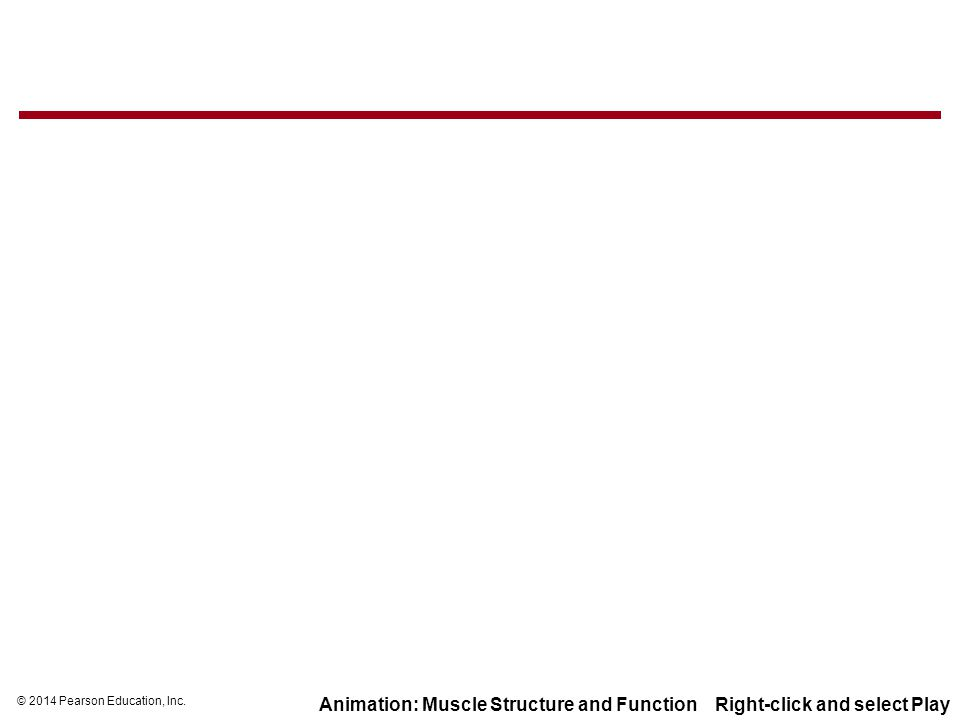 © 2014 Pearson Education, Inc. Animation: Muscle Structure and Function Right-click and select Play
