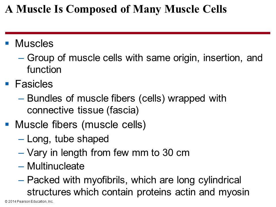© 2014 Pearson Education, Inc. A Muscle Is Composed of Many Muscle Cells  Muscles –Group of muscle cells with same origin, insertion, and function 