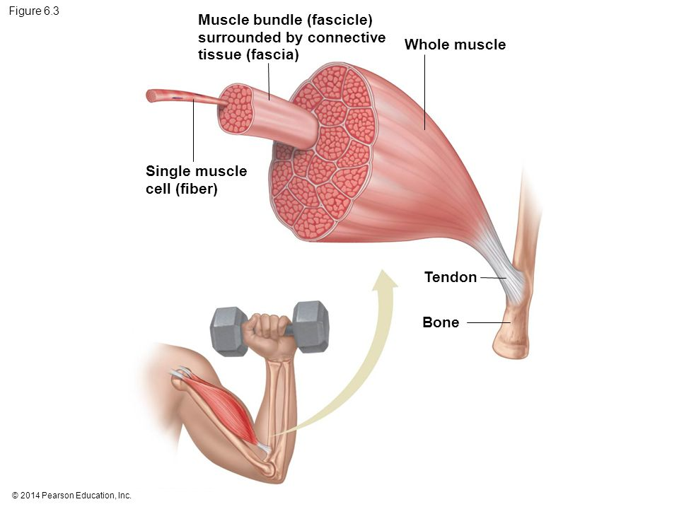 © 2014 Pearson Education, Inc. Figure 6.3 Muscle bundle (fascicle) surrounded by connective tissue (fascia) Whole muscle Single muscle cell (fiber) Te