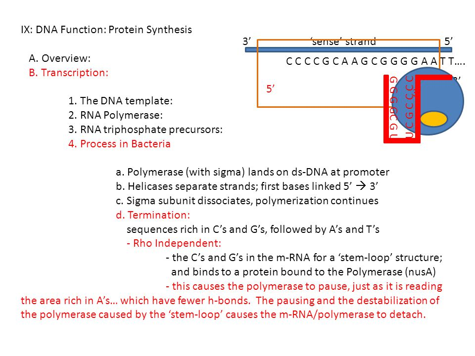 IX: DNA Function: Protein Synthesis A. Overview: B. Transcription: 1. The DNA template: 2. RNA Polymerase: 3. RNA triphosphate precursors: 4. Process