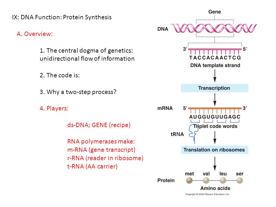 IX: DNA Function: Protein Synthesis A. Overview: 1. The central dogma of genetics: unidirectional flow of information 2. The code is: 3. Why a two-ste