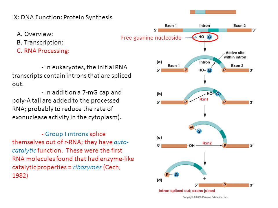 IX: DNA Function: Protein Synthesis A. Overview: B. Transcription: C. RNA Processing: - In eukaryotes, the initial RNA transcripts contain introns tha