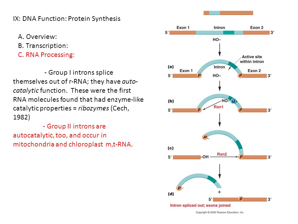IX: DNA Function: Protein Synthesis A. Overview: B. Transcription: C. RNA Processing: - Group I introns splice themselves out of r-RNA; they have auto