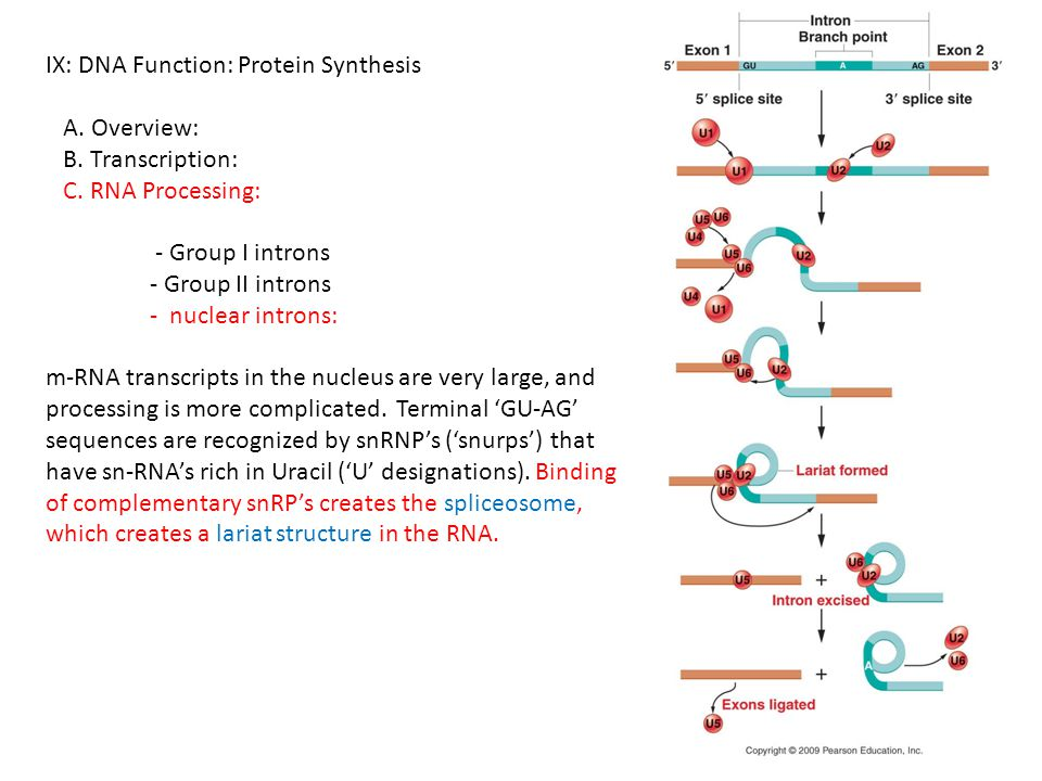 IX: DNA Function: Protein Synthesis A. Overview: B. Transcription: C. RNA Processing: - Group I introns - Group II introns - nuclear introns: m-RNA tr